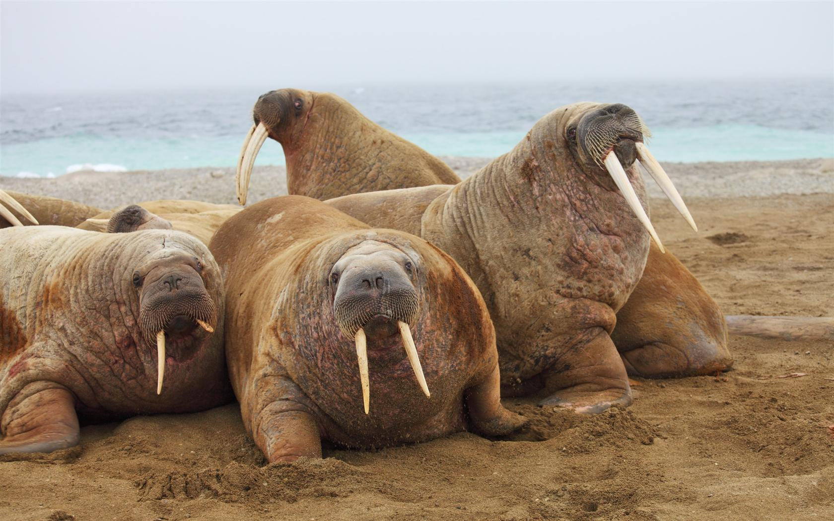 Steam Workshop :: Beutifal Walruses