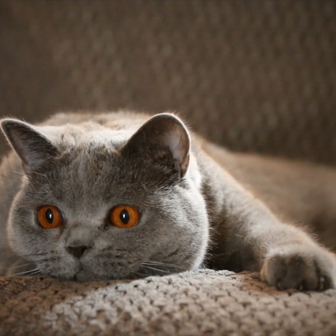 Cat Cinemagraph Wallpaper Engine