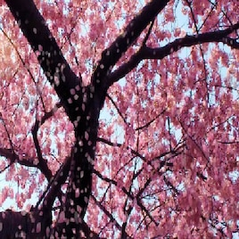 Steam Workshop Cherry Blossom Live Wallpaper