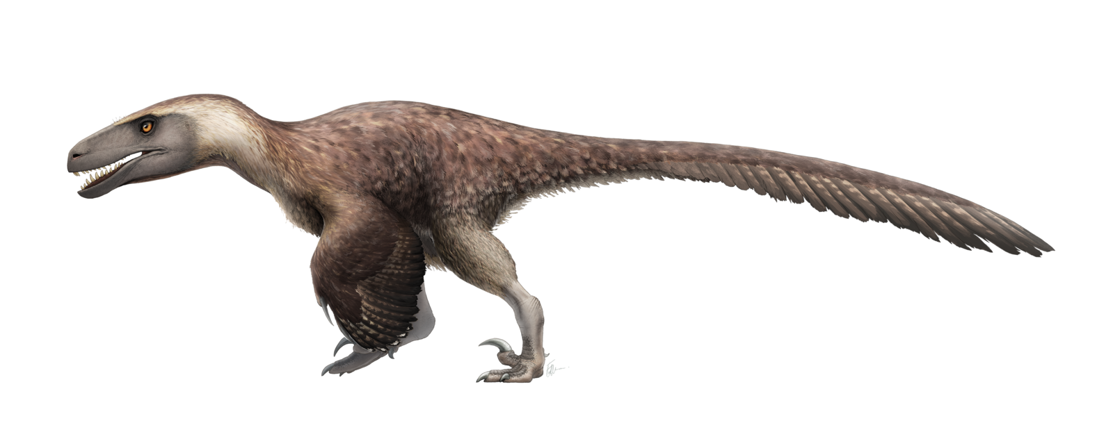 Image of: Discovered1993 Main Classificationdromaeosaur Size20ft6m Long Dietsmallmedium Sized Dinosaurs Locationunited States Timeearly Cretaceous 125 Mya Steam Community Steam Community Guide The Real Animals Of Ark